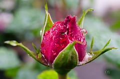 Rosenknospe im Regen (schmidtvossloch) Tags: rose nikon natur blume makro garten regen