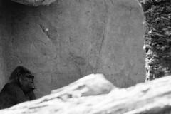 Gorilla (sophiehep) Tags: animal monkey gorilla ape