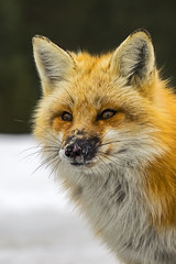 Red Fox VI (Miguel de la Bastide) Tags: red wild ontario canada nature animal mammal outdoors nikon outdoor wildlife fox tamron algonquinpark carnivore redfox d5300 150600mm