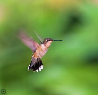 Hummingbird (Explored Jun 2, 2016 #358)