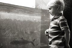 154/366 (grilljam) Tags: spring salmon seamus brunswick shad 4yrs fishway fishladder alewives 366days theseasonissoshort june2016 thisisthelastofthem youcanalwaystellwhentheresanabundance theseagullsandcormorantsallflocktoit