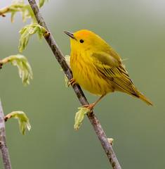 Yellow Warbler (snooker2009) Tags: bird fall nature rain yellow spring pennsylvania wildlife migration warbler
