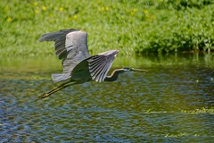 Across (brev99) Tags: bird nature water pond ngc greatblueheron bif birdinflight d7100 nikviveza topazdenoise tamron70300vc highqualityanimals photoshopelements12