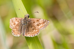 Dingy Skipper (oandrews) Tags: england nature fauna canon butterfly insect outdoors unitedkingdom skipper butterflies insects gb dingyskipper invertebrate invertebrates minibeasts minibeast erynnis duskywings erynnistages twywell canonuk twywellhillsanddales canon70d 30dayswild