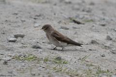 Northern Rough-winged Swallow (bcsongbird) Tags: britishcolumbia coquitlam swallow northernroughwingedswallow minnekhada stelgidopteryxserripennis passeriformes hirundinidae
