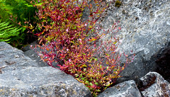 Bushes Between the Rock Cracks (Orbmiser) Tags: plants oregon portland nikon rocks boulders riverbank willametteriver summmer d90 55200vr