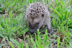 Erinaceus europaeus (ironmember) Tags: erinaceuseuropaeus riccio piccolo cucciolo 10cm allaperto manolibera nophotoshop iso1250 erba vagabondo vagabondaggio closeup profonditdicampo animale