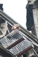 IMG_6837  Juvenile (gipukan (rob gipman)) Tags: holland tower netherlands eos fly toren nederland rover 7d falcon hunter juvenile amersfoort jong jager slechtvalk valk olv peregrinefalcon vliegen falcoperegrinus canon100400l langejan preybird kenkopro