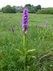 Southern Marsh Orchids, Corfe Meadow, 11.6.16