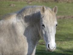 untitled (stevefge (away travelling)) Tags: horses nature netherlands nijmegen nederland natuur ponies koningspaarden reflectyourworld