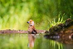 Bath (forceberg) Tags: lake bird water animal river mirror woodpecker nikon europe hungary outdoor wildlife great reflect worm dslr tamron refleciton 2016 d600 tisza hawfinch coccothraustes kiskunsg forceberg szabogyul4