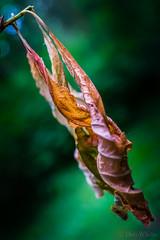 Leaf Macro (Don White (Burnaby) Thanks for the Three Million V) Tags: macro leaves bokeh extensiontube driedup 10mm sigma30mmf28