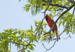 DSC_1588 - Cardinal (tonybatal) Tags: red bird cardinal