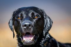 Milo (Graham H Lock) Tags: england dog dogs lab labrador unitedkingdom gb retreiver bournemouth