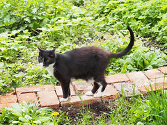 Felix (arjuna_zbycho) Tags: pet cats pets cute animal animals cat blackcat kitten feline chat felix kitty kittens tuxedo gato tuxedocat gatto katzen haustier kater tier gattini hauskatze kocio