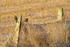 Could you call it a fence? (Elisafox22 mostly away this week!!) Tags: wood bird field sunshine birds canon fence outdoors wooden shadows post barbedwire grasses posts stubble fenceposts yellowhammer sx50 fencefriday fencedfriday elisafox22 elisaliddell2016