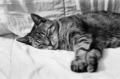 (Teun Donders) Tags: bw white black film monochrome contrast cat grey nikon kat outdoor sleep slaap plus asleep zwart wit ilford fp4 poes buiten grijs slapen f501 zw teun 2016 donders