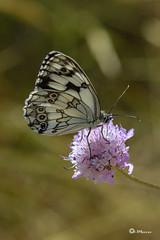 _VMG5662 (V.Maza) Tags: naturaleza flores insectos macro spain nikon catalunya mariposa reptiles badalona mariquita airelibre d7100 serraladademarina santjeronidelamurtra