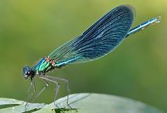 colorando un tramonto... (andrea.zanaboni) Tags: macro colors insect fly eyes nikon dragonfly blu ali occhi colori insetti libellula