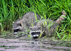 Troublemakers (Gary Grossman (out taking pictures)) Tags: water river spring wildlife pacificnorthwest grasses riverbank raccoons ridgefield troublemakers wildlifephotography garygrossmanphotography shotsofawe