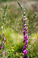 Exported-6301 (richardsolway) Tags: foxgloves purple flowers landscape