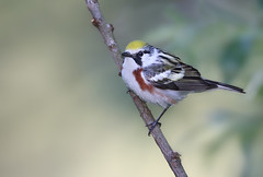 Chestnut sided Warbler (sspike@rogers.com) Tags: warbler chestnut sided male spring canon steverossi nature