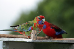 Rainy days (crafty1tutu (Ann)) Tags: colour bird animal outdoor colourful juvenile crimsonrosella anncameron naturethroughthelens crafty1tutu canon7dmkii canon28300lserieslens