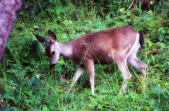 Foraging (TJ Gehling) Tags: mammal deer elcerrito odocoileus blacktaileddeer odocoileushemionus hillsidenaturalarea