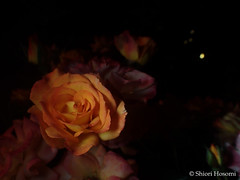 Sahara '98 (Shiori Hosomi) Tags: flowers plants rose japan night tokyo nocturnal nightshot may rosa    rosales 2016  rosaceae    noctuary   flowersinthenight noctivagant 23