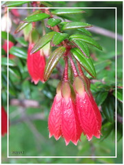 Macleania cordifolia (Martin Volpert) Tags: plant flower fleur flor pflanze blume blte blomster virg lore blm floro kvet kukka cvijet blth cordifolia macleania is mavo43