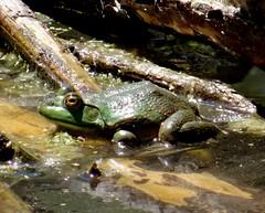 Summer frog. (EcoSnake) Tags: summer june wildlife frogs amphibians naturecenter americanbullfrog idahofishandgame lithobatescatesbeiana