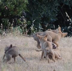 Princess Mary- Prince George 6 Pups3 (FluffyPuppiesMosaics) Tags: ca dogs wildlife redding turtlebay coyotes sundialbridge coyotepups tracihallstrom pupsplaying coyotepack fluffypuppiesmosaics riverknolls riverknollscondos