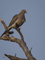 ..Perched Dove... (turtlehawk) Tags: nature birds outdoors dove wildlife osprey bethanybeach bluecoast