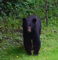 A BEARY surprise today! (shireye) Tags: bear nikon bc britishcolumbia vancouverisland fullframe fx ff blackbear myyard comoxvalley d610 24120