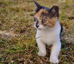gatita (janette990) Tags: pet cat kitten kitty gato tricolor mascota rescued gatita straycat gatito abandonado adoptado recatado gatatricolor gatotricolor