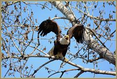 ^^^ Announcing Her Presence! - II. ^^^ (Wolverine09J ~ 1 Million + Views) Tags: baldeagle raptor naturesgallery avianwildlife naturescreations fantasticnaturegroup eagleperching aprileaglemorning minnesotabirdsofprey