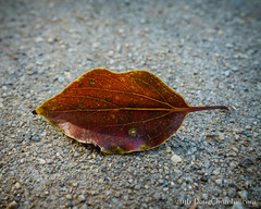 147366  2016  dry leaf on concrete (Doug Churchill) Tags: 365 366 sonyrx100m3 alone arid cement closeup closeups concrete dead death deaths dry foliage highangleview highangleviews highcontrast leaf leaflet loneliness lonely macro macromondays macros melancholy project project366 sad sadness
