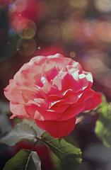 DSC_1748+ (SuzuKaze-photographie) Tags: flowers fleurs nikon lyon bokeh f2 parc swirly helios 442 helios442 d7100 suzukazephotographie