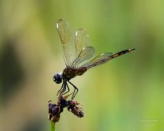 Dragonflies -11 (jimlustgarten) Tags: dragonflies lustgarten
