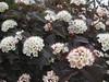 ** Blanches et roses ** (Impatience_1 ( Peu...ou moins présente... )) Tags: flower fleur m impatience coth supershot ninebark physocarpus fantasticnature abigfave alittlebeauty physocarpeàfeuillesdobierdiabolo physocarpusopulifoliusdiabolo diaboloninebark coth5 sunrays5 fleurdephysocarpe