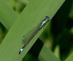 Blue-tailed Damselfly (yvonnepay615) Tags: uk nature insect lumix norfolk panasonic damselfly eastanglia strumpshaw bluetaileddamselfly gh4