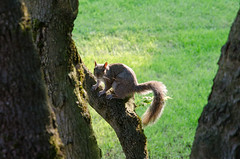 What you looking at? (Spannarama) Tags: sunlight tree green grass sunshine moss squirrel branches backlit outofmywindow