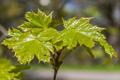 Maple Leaves In Springtime (AudioClassic) Tags: park sun plant tree green nature closeup outdoors leaf maple flora estonia day branch nopeople april backgrounds growing bud freshness springtime newlife flowerhead formalgarden naturebackgrounds bloomingtimelapse mayseason