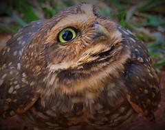 Coruja-buraqueira (Athene cunicularia) (Paula Souto) Tags: coruja owl