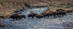 Bison Crossing the Gardiner River (Colleen Easley) Tags: bison crossing nationalpark river yellowstone
