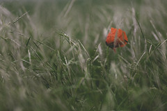 Lone Wild Poppy (craigmdennis) Tags: red green nature field grass landscape corn dof poppy wildpoppies
