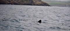 Basking Shark (mcgrath.dominic) Tags: ireland shark cocork basking