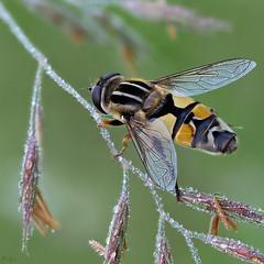 Sumpfschwebfliege (pen3.de) Tags: omd em10ii zuiko 60mmmakro fliege schwebfliege sumpfschwebfliege grashre wildlife naturlicht natur morgens morgentau