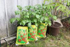 Kartoffeln Juni 2016 (blumenbiene) Tags: plant garden bag im pflanze harvest potato crop sack planter garten potatos kartoffeln kartoffel erde tragbar plastiksack kartoffelpflanze kunststoffsack pflanzensack foliesack