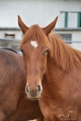 14 (CrevanNight) Tags: spring horse horses farm farms country equine train training thoroughbred thoroughbreds yearling yearlings cute pretty couple sweet equines new experience life lover stubborn young amish lancaster pennsylvania pa